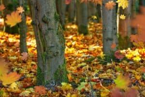 Billede af træer og faldne blade, et billede af efterår.